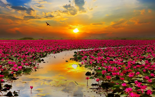 lotus_flowers-wide.jpg